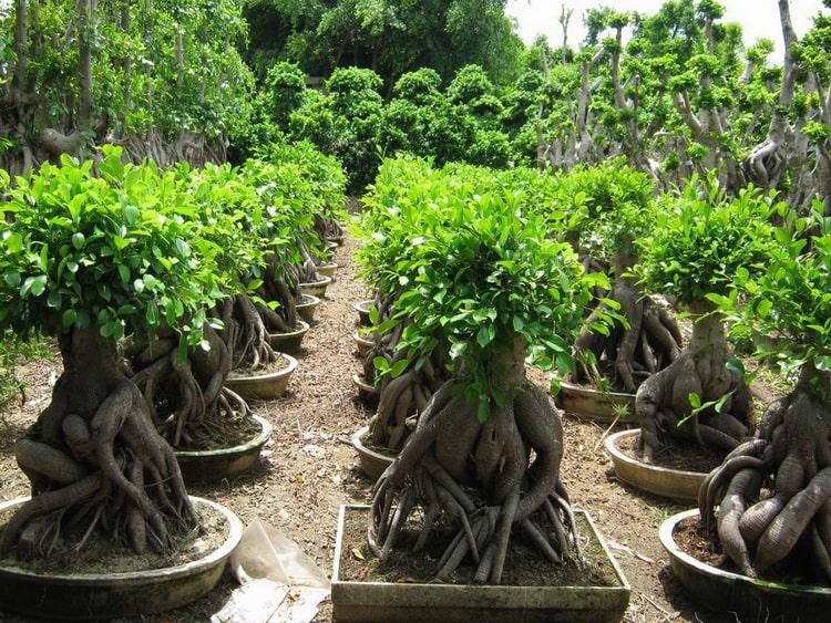 Выращивание бонсаев на дому