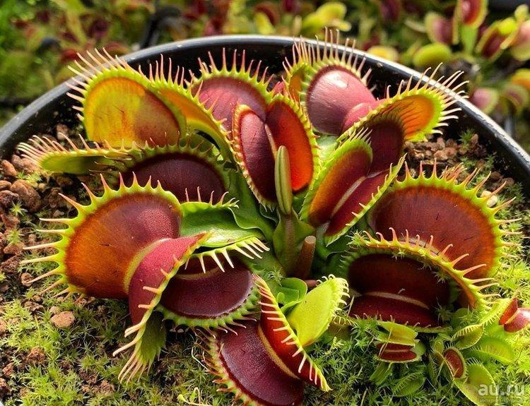 выращивание_хищных_растений